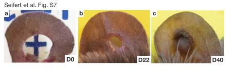Seifert et al. Ear regeneration