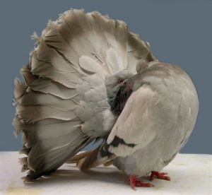 A fantail pigeon