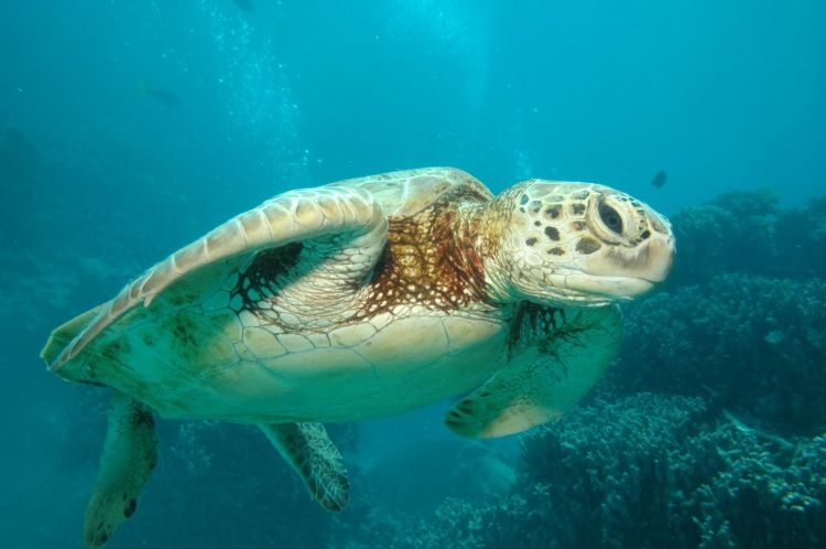 Sea turtle at Great Barrier Reef. Credit: The Lightworks