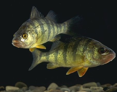 Fish on Anti-anxiety drugs become more aggressive