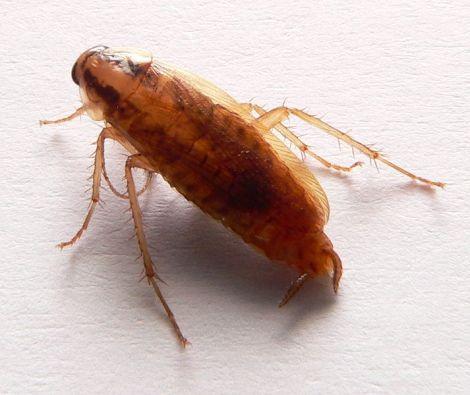A German cockroach,(Blatella germanica). Photo credit: David Monniaux