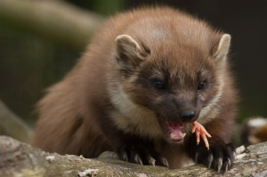 A Pine Marten. The stuff of Squirrel nightmares. Credit: Joane Goldby