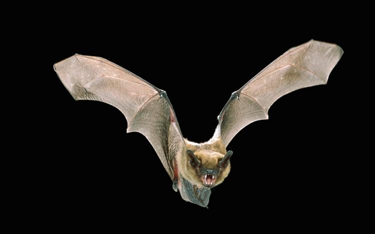 Big Brown Bat. Eptesicus  fuscus. Credit: Angell Williams