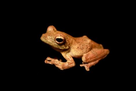 Rufous Foam-Nest Tree Frog.  Credit: brian.gratwicke