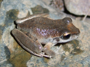 Booroolong frog. Credit: Kelson